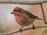 Cassin's Finch (Carpodacus cassinii)