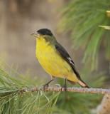 Lesser Goldfinch #1713