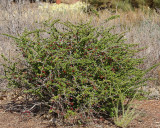 Green Barberry (Tag #434)