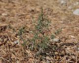 Little Leaf Mahogany #311 (4836)