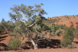 Red River Gum Tree