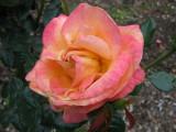 rose in decline