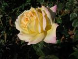 Rose Melange