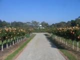 Victoria State Rose garden Werribee