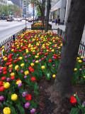 Magnificient Tulips