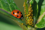 Lady Bug (Feeding on eggs)