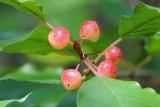 Ripening berries on shrub