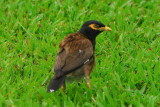 Common Mynah ( Introduced species)