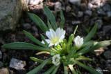 Triphylla
