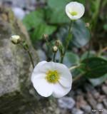 Ranunculus parnassifolia
