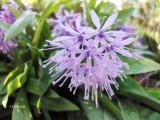 Heloniopsis orientalis