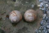 Helix pomatia ( Vinbjergsnegl )