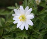 nemorosa Bracteata pleniflora