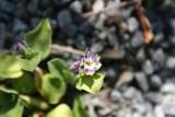 Auricula Star Flower