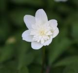 nemorosa Flora Plena