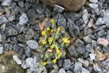 Vitaliana primuliflora ssp. Assoana