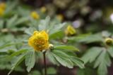 Ranunculoides Flora Plena