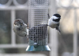 House Sparrow and Chickadee