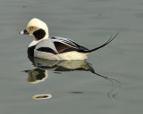 Longtail Ducks