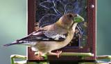 Evening Grosbeak