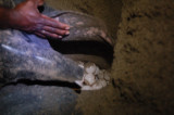 Leatherback eggs