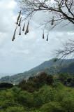 Crested Oropendola Bird Nests