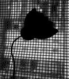 Shadow poppy