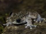 Waterfall frog, Mosleyia nannotis