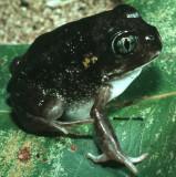 Helioporus species until further notice.