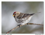 Sizerin flammé  Common redpoll
