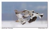 Bruant des neiges  Snow bunting