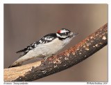 Pic mineur  Downy woodpecker