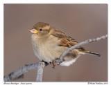 Moineau domestique  House sparrow