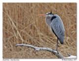 Grand héron  Great blue heron