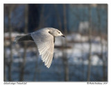 goeland_artique_-_iceland_gull