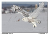 Harfang des neiges  Snowy owl