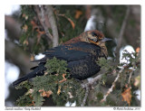 Quiscale rouilleux - Rusty Blackbird