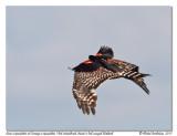 Buse à épaulettes  Red-shouldered Hawk