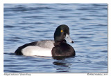 Fuligule milouinan - Greater scaup