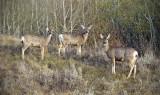 Mule Deer at Dry Island Buffalo Jump
