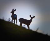Mule Deer Silhouette at the Jump
