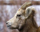 Banff's Big Horn Sheep
