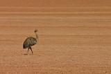 Andean Ostrich