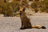 Bolivia - Andean Fox 1