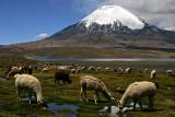 Lago Chungará, Alpacas and Parinacota