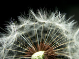 4-3-2010 Dandelion 5.jpg