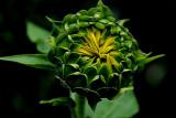 5-4-2010 Sunflower 1.jpg