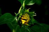 5-5-2010 Sunflower 2.jpg