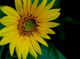 5-6-2010 Sunflower 1.jpg