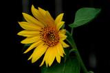 5-6-2010 Sunflower 2.jpg
